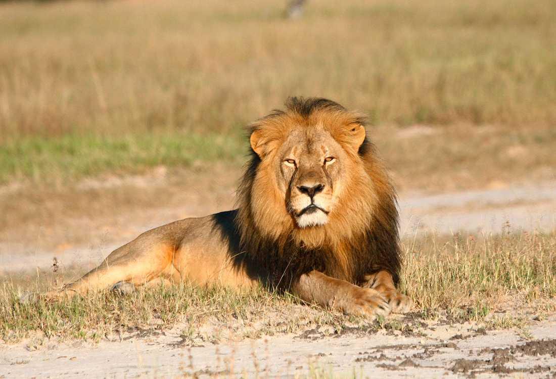Lejonet Cecil.