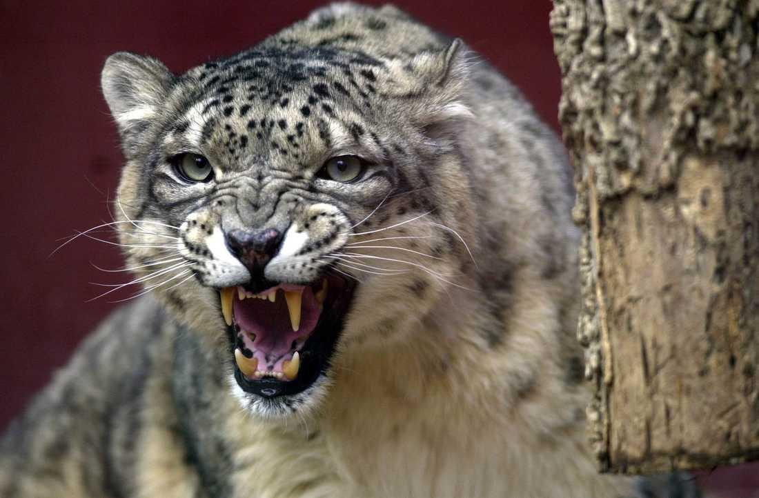 Hur många snöleoparder i vilt tillstånd finns det – egentligen?