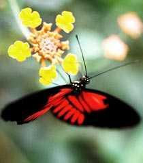 Så här fina fjärilar kanske vi får se i Sverige i framtiden.
