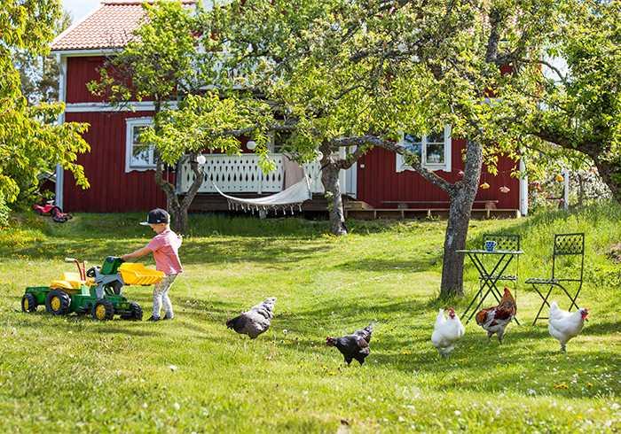 När familjen är hemma får hönsen spatsera fritt i den stora trädgården.