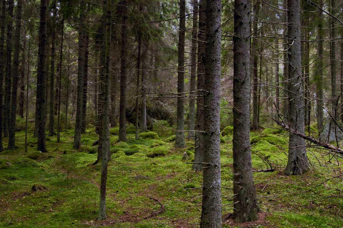 Grön mossa på marken i en skog som liknar Fyllerydsskogen. Arkivbild.