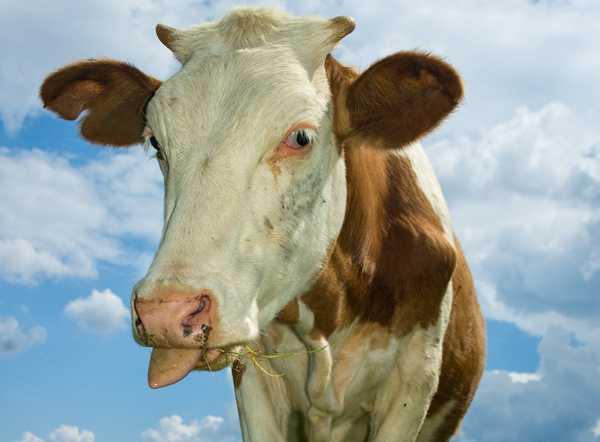 FISER BÄTTRE MED VITLÖK Om kossorna skulle få vitlök i sitt foder skulle växthusgaserna minska, visar en ny undersökning.