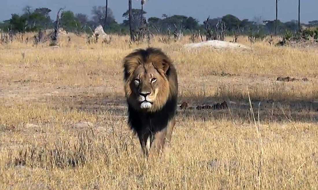 Lejonet Cecil hittades brutalt dödad.