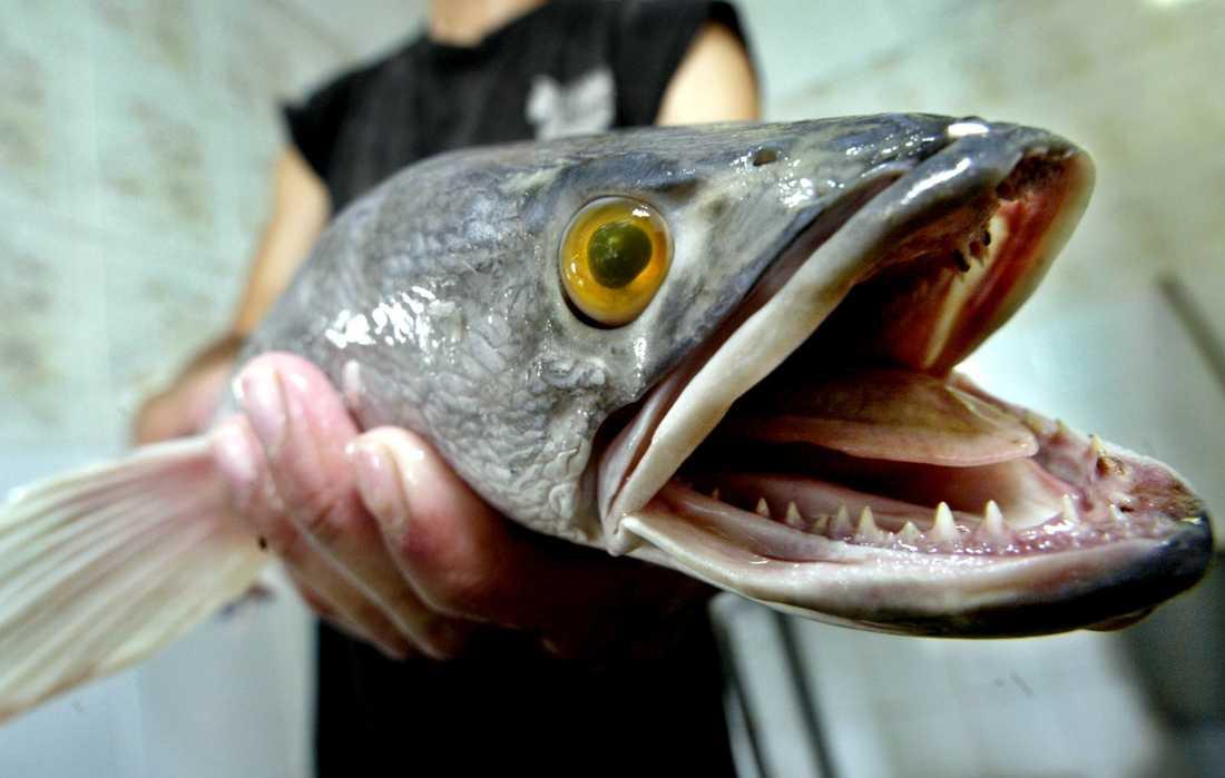 Fisken kan kräla flera hundra meter på land.