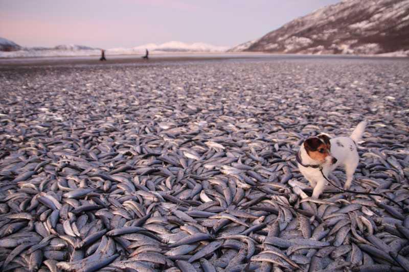 ETT HAV AV DÖDA FISKAR På stranden i Nordreisa i Norge låg uppskattningsvis 20 ton död sill i morse. Jens Christian Holst, forskare vid norska Havforskningsinstituttet i Bergen, säger att det inte är vanligt med den här typen av fiskdöd, tror att det kan vara en kombination av stormen Dagmar och att fisken blivit skrämd upp på land. – Det är något vi ser då och då, säger han.