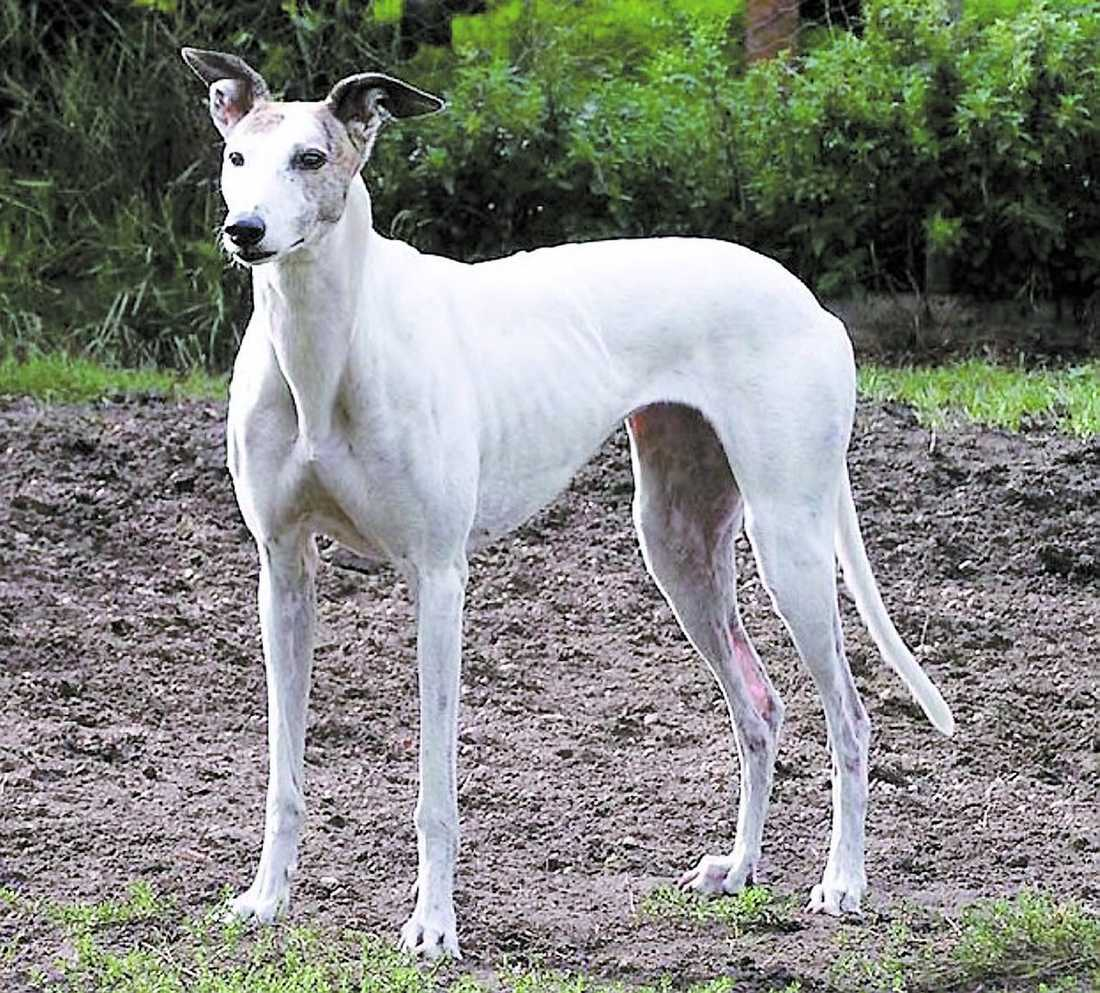 tävlingshunden plågades ihjäl Den nioåriga greyhounden Lucy var framgångsrik kapplöpningshund på Irland innan hon kom till Sverige. Sina sista månader i livet tillbringade hon hos en fodervärd, som påstår sig ha avlivat hunden hos veterinär. Men Lucy dog i skogen – fastbunden vid en gran.
