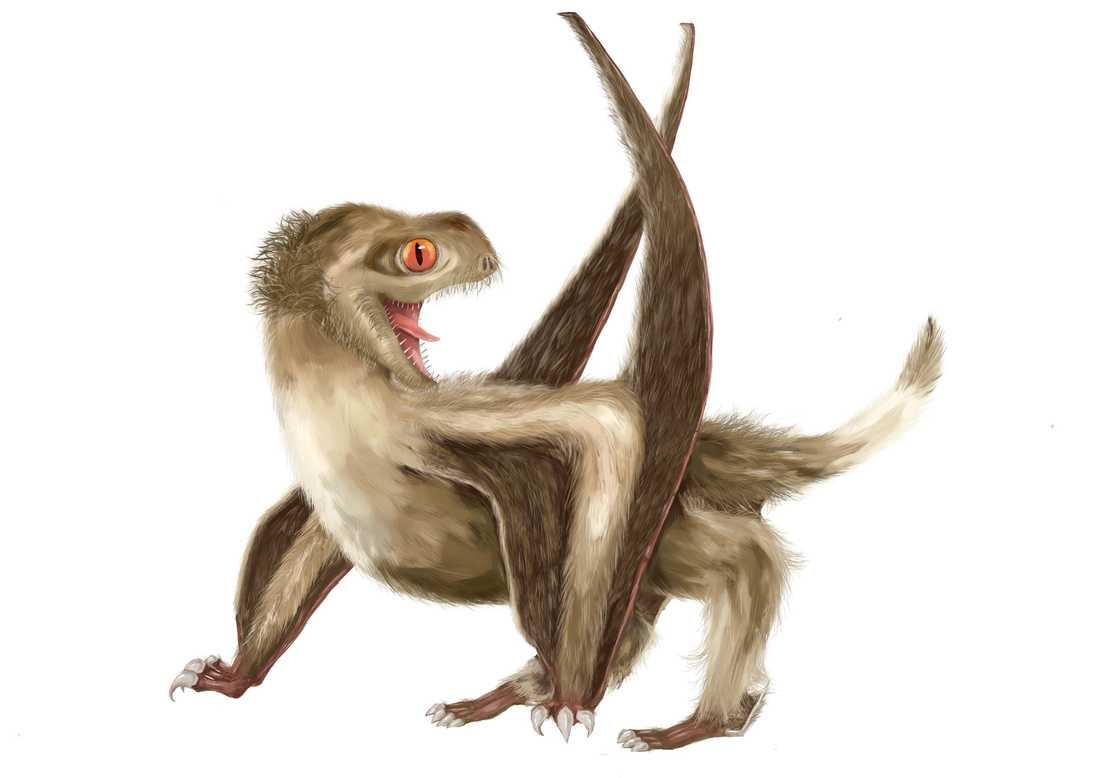 Forskare tror sig ha hittat bevis för att även flygödlor hade fjädrar, ungefär som dagens fåglar och dinosaurierna hade.