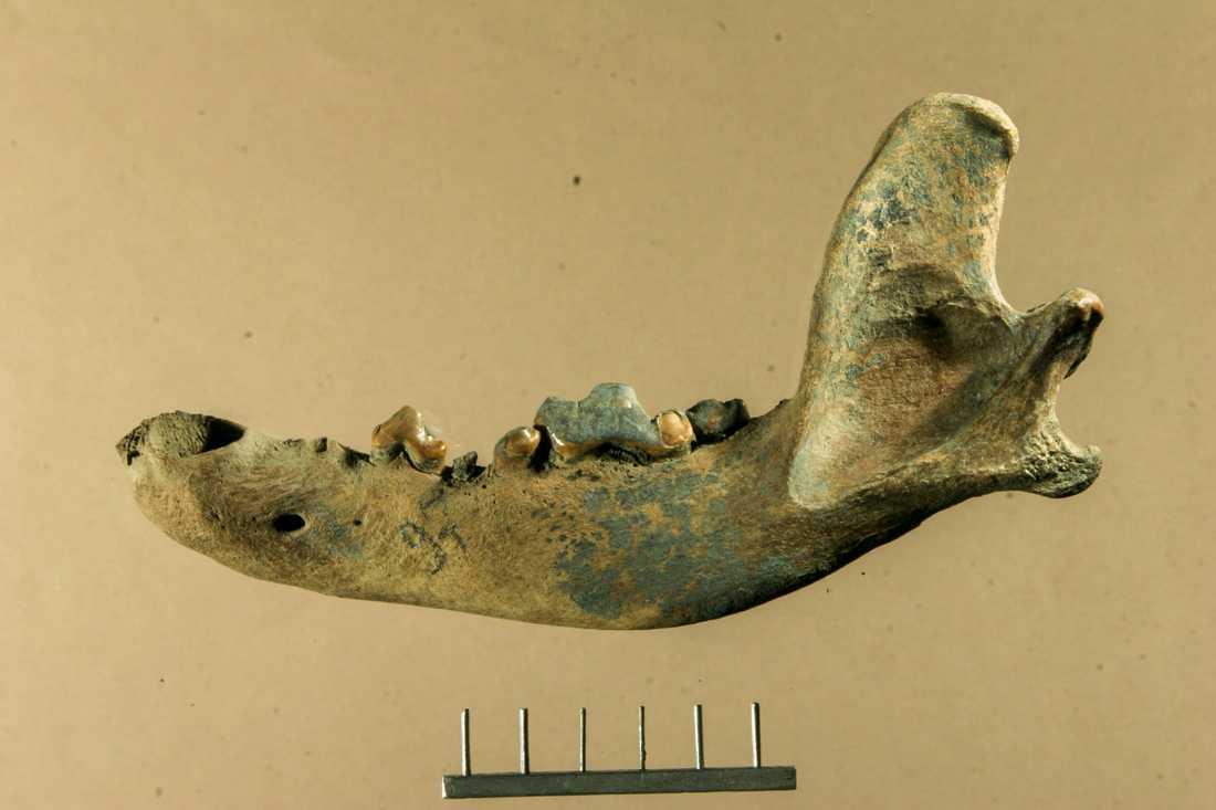Käkben från en hund som levde år 9500 år sedan på ön Zjochov i nordöstra Sibirien. En ny genetisk studie visar att det var en slädhund.