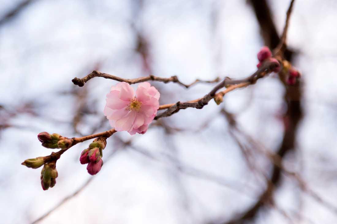 Körsbärsträden i Kungsträdgården i centrala Stockholm tror att det är vår. De brukar blomma i april. Arkivbild.