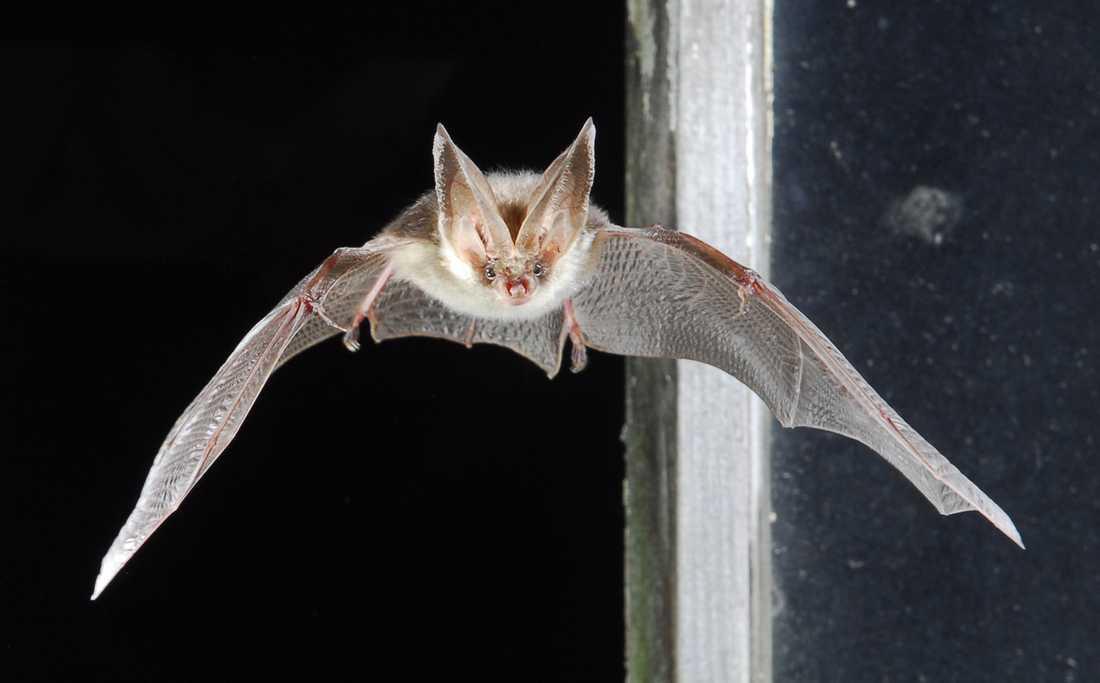Fladdermusen brunlångöra. Här fångad mitt i en flygning. Arkivbild.