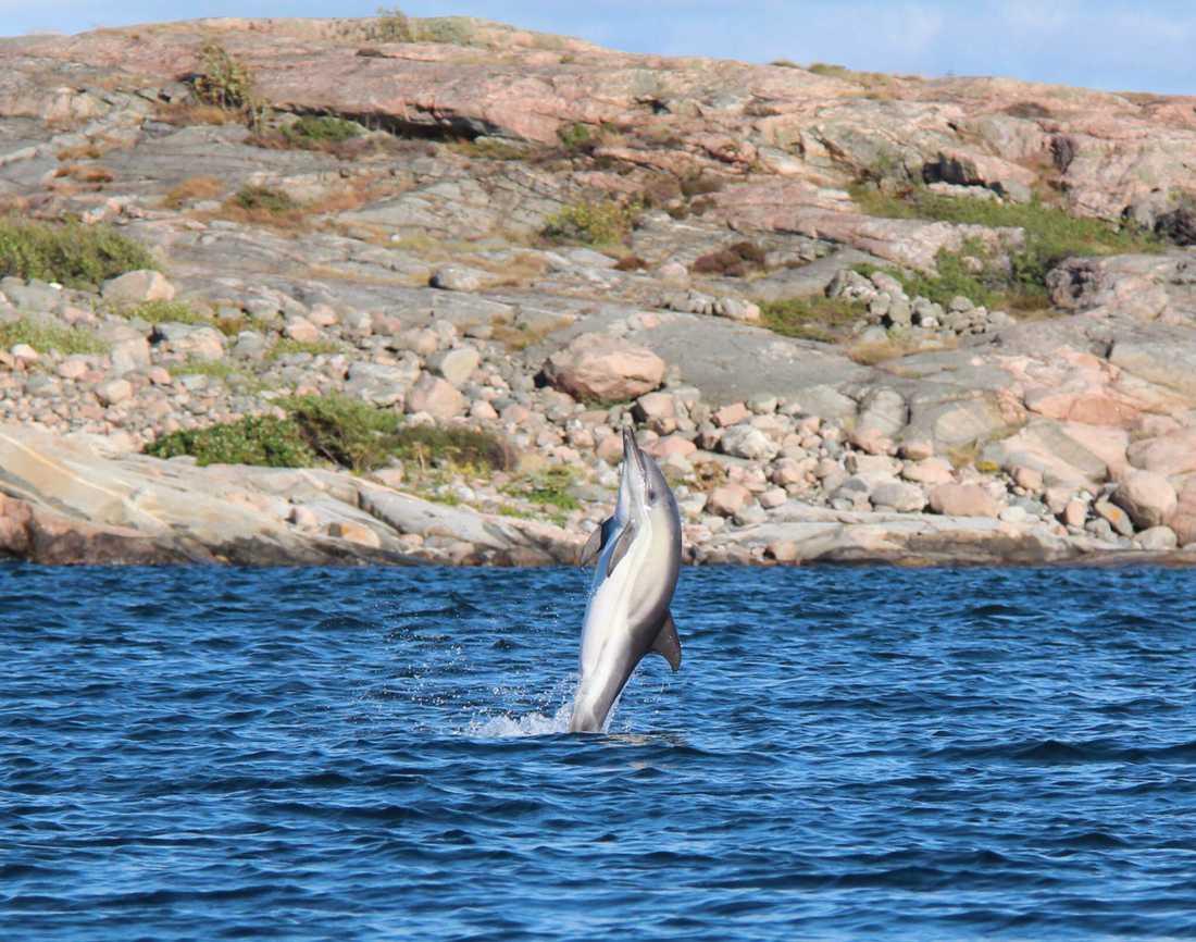 Tre familjer satt i tre båtar i sundet mellan Getryggen och Hästvam, utanför Fjällbacka på onsdagskvällen. –Vi tycker att det hoppar lax 100 meter bakom båten, säger Torbjörn Sandin. Han och kompisen Johannes Hofdell åkte närmare med spön. När de kom närmare trodde de först att det var tumlare – till slut visade det sig vara delfiner.