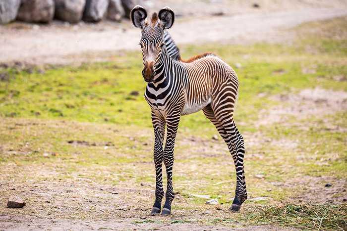 Zebror är snabbt uppe på benen efter födseln.