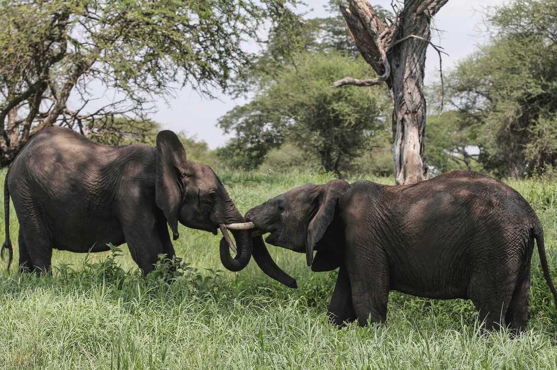 Elefantens betar har varit otroligt åtråvärda på marknaden – men nu införs ett totalförbud mot elfenbenshandel i Kina, och fler länder följer nu efter.