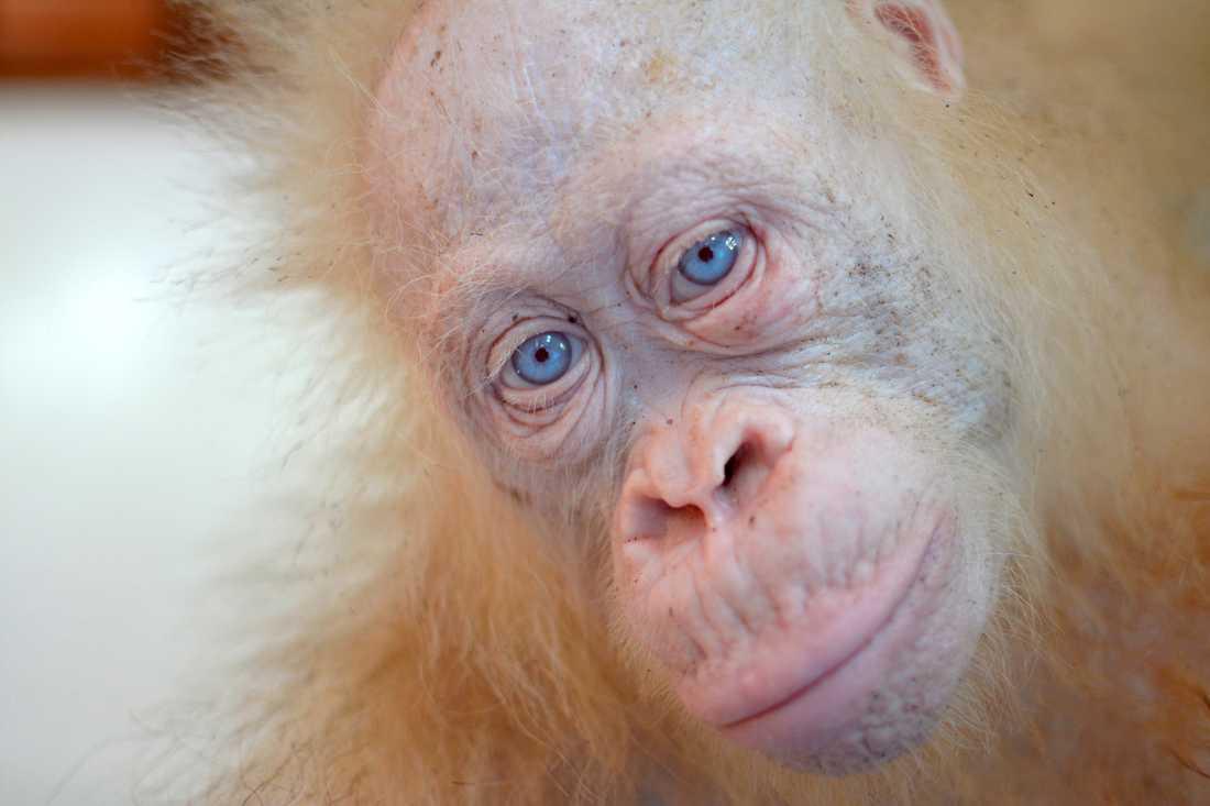 Den vita orangutanghonan Alba, på en bild från i maj i fjol.
