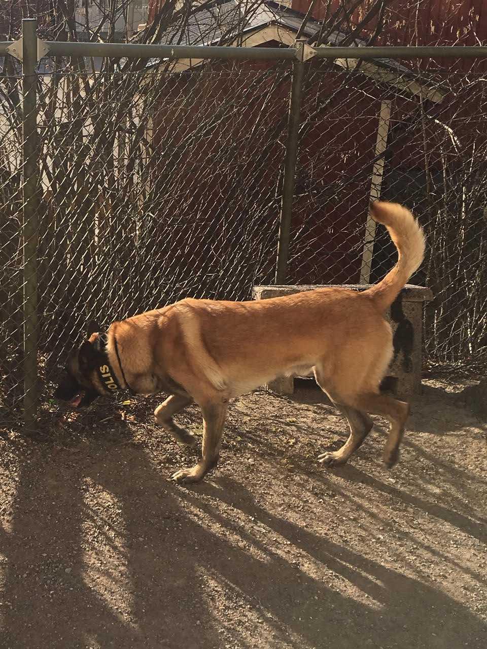 En av polisens knarkhundar söker på en lekplats.