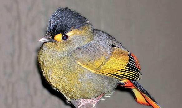 Färgstänkta fågeln Första nya fågeln Liocichla bugunorum hittades i Indien. Den första nya fågeln som hittats sedan 1948.