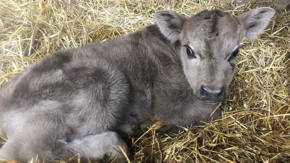 En lurvig, blågrå kalv har fötts på Björketorps gård i Blekinge.
