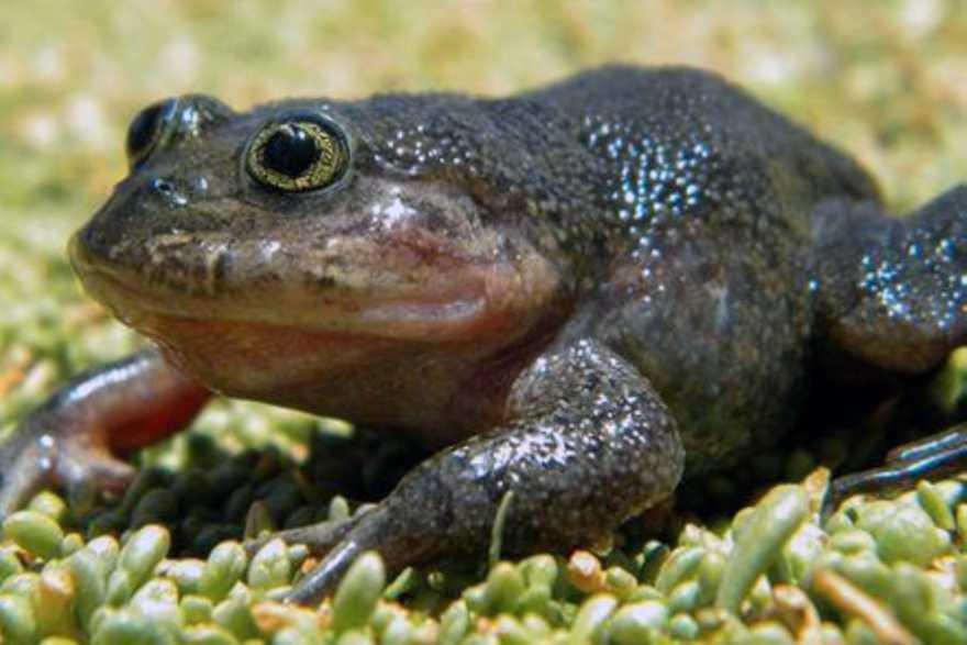 """Arten som kallas """"Diminutive Hall's vattengroda"""" har hittats i Chile, efter 80 år."""