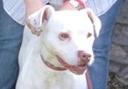 20. Lucy, boxer/amstafftik, 2,5 år. Räddades från ett uppsamlingsläger för hundar på Irland men hamnade i fel händer. info@hundarutanhem.se