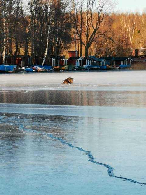 Niclas var ute med sin dotter på isen när de såg det utsatta vildsvinet.