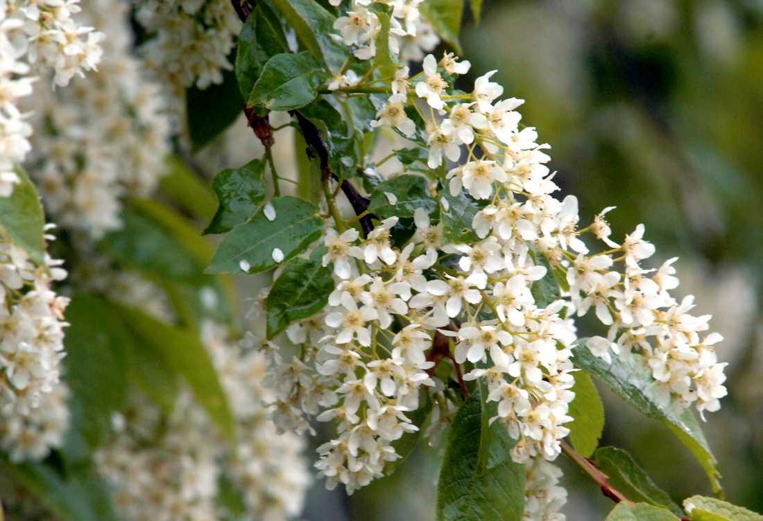 Häggen blommar ovanligt tidigt i år. Arkivbild