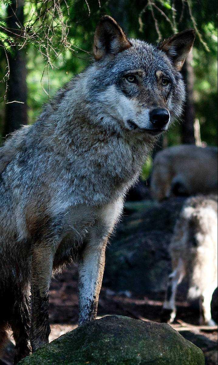 En av Kolmårdens vargar.