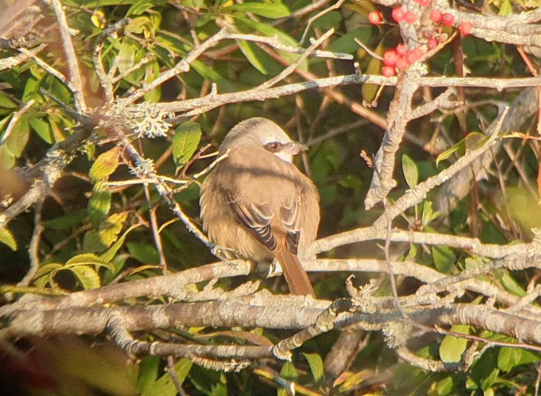 Thomas Strid lyckades få en bild på den bruna törnskatan som siktades på Landsort på lördagen. Det är bara andra gången fågeln setts i Sverige.