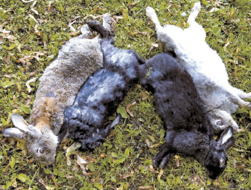 De skjutna kaninerna blir biobränsle i Karlskoga.