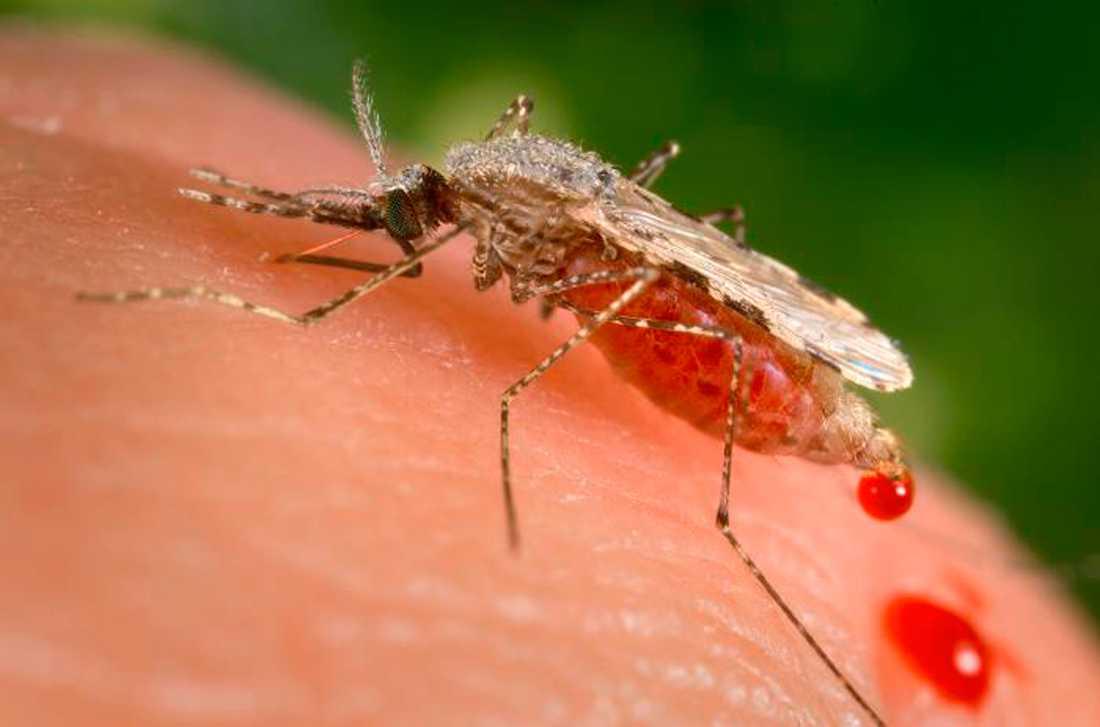 På bilden syns en malariamygga (Anopheles stephensi). Arkivbild.