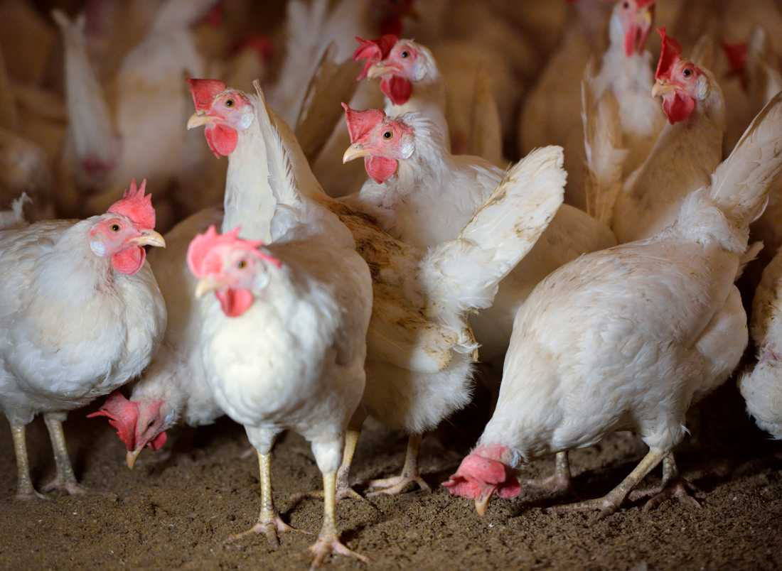 Svenska höns måste nu hållas inomhus för att undvika fågelinfluensan som sprids i Europa. Arkivbild.
