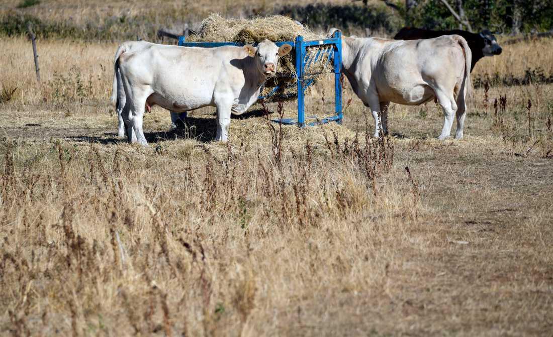 Kor äter hö som satts ut i torkan i på en betesmark utanför Malmö under den heta sommaren 2018.