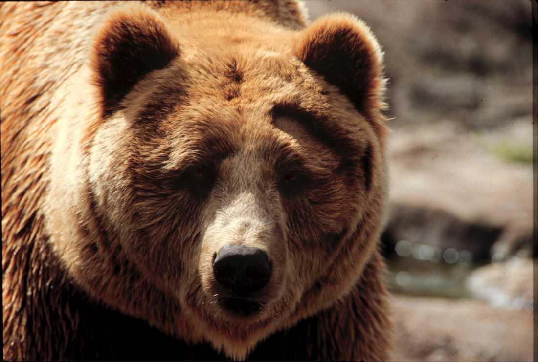 En annan björn. Arkivbild.