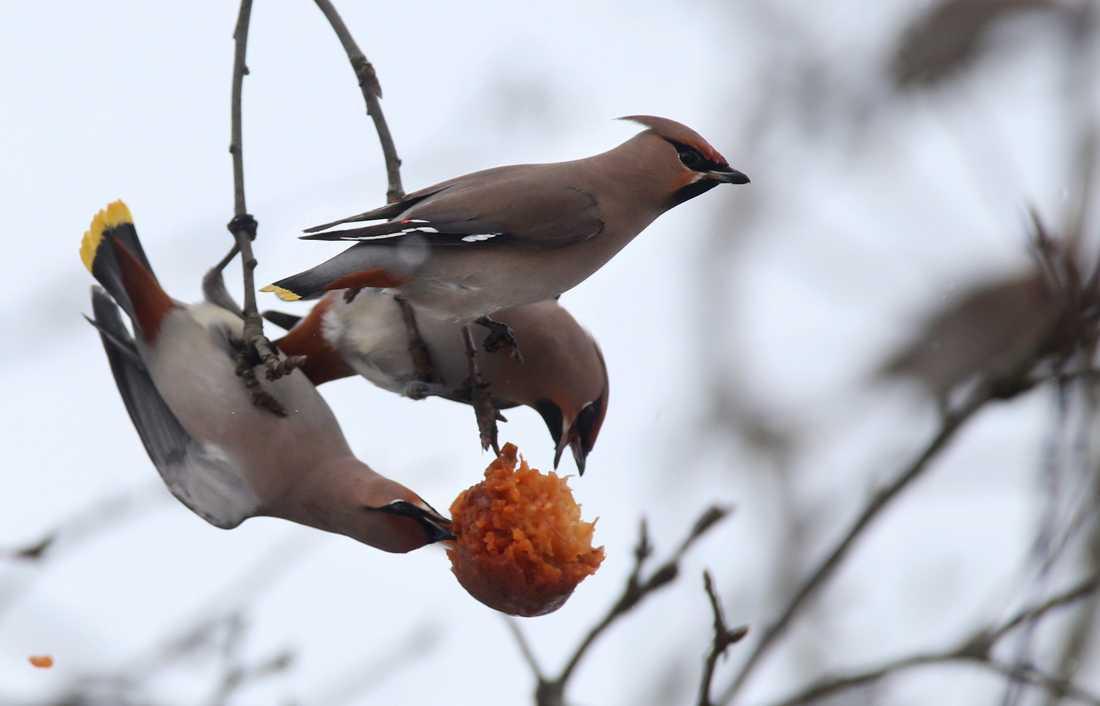 Även sidensvansen var fler till antal i årets fågelräkning. Arkivbild.