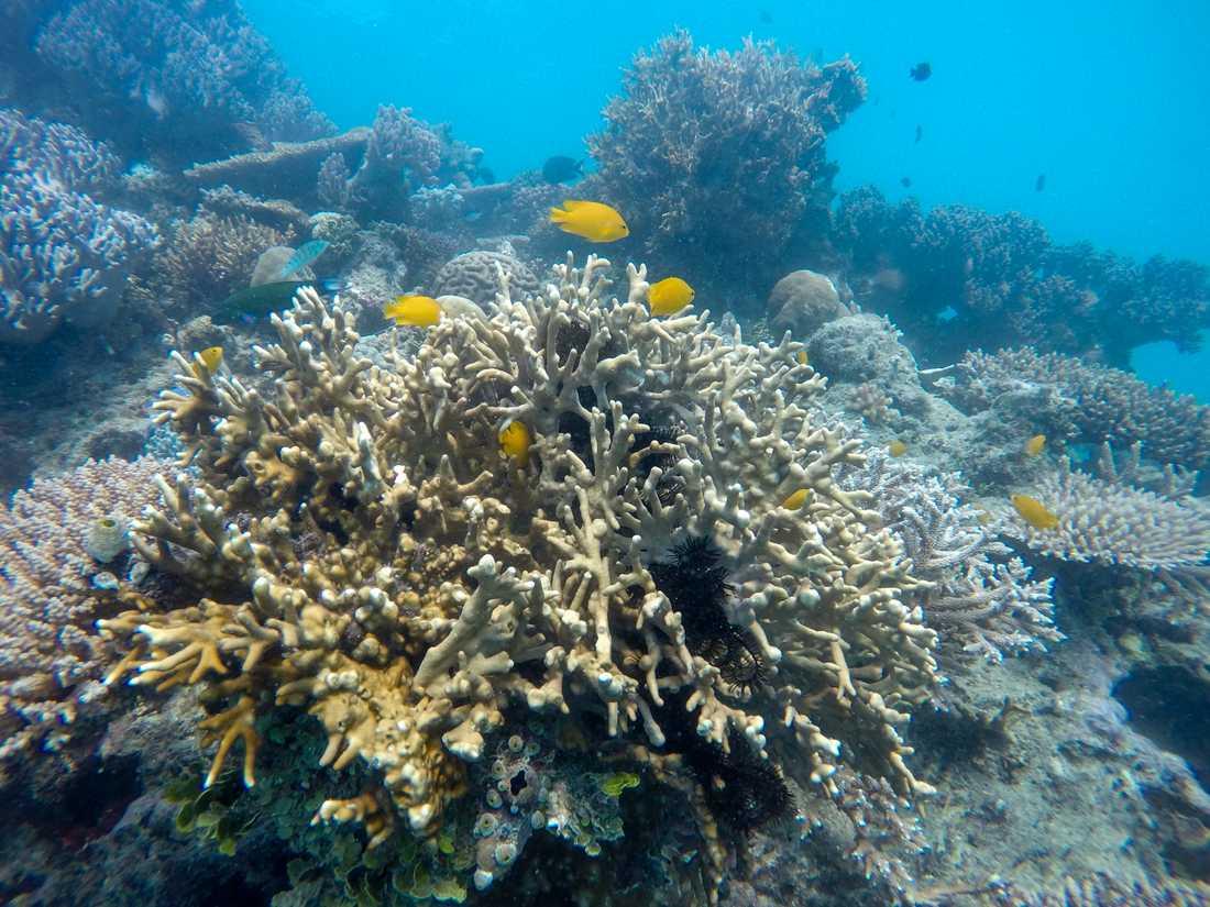 Delar av Stora Barriärrevet tillhör den lilla del av världens havsområden som är skyddade mot exploatering. Arkivbild.