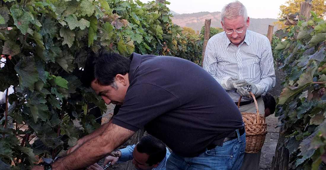 Carl Bildt plockar vindruvor tillsammans med Georgiens president Mikheil Saakshvili.