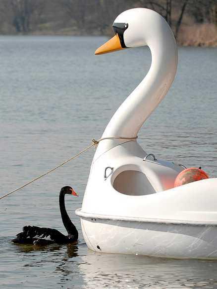 OMAKA PAR Svanen Petra föll för en svanlik trampbåt och vägrade flytta söderut med sina svankompisar.