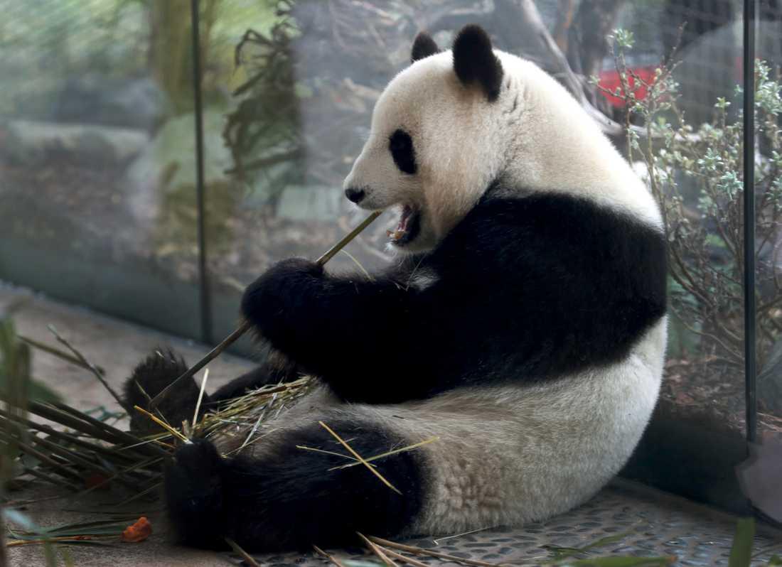 Meng Meng äter bambu i sin inhägnad som kostade 9 miljoner euro att upprätta. Arkivbild.