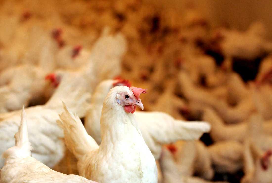Ytterligare ett utbrott av fågelinfluensa har konstaterats i Sverige. Arkivbild.