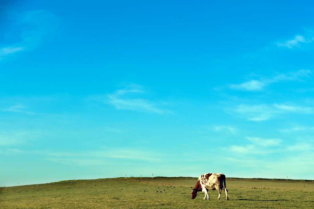 Kvigan Hilda är långt ifrån lika ensam som kon på bilden. Arkivbild.