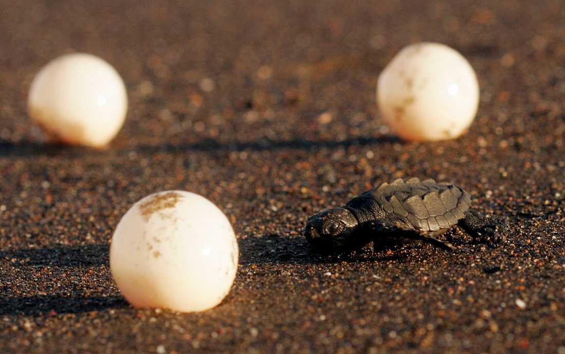 Nykläckt sköldpadda kravlar mot havet i Costa Rica. Äggen på bilden har inget med notisen att göra. Arkivbild.