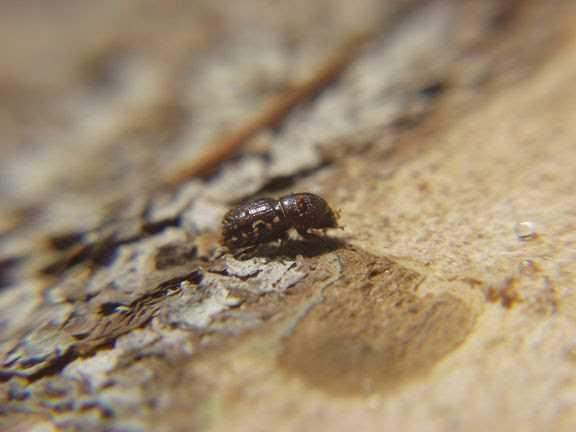 En granbarkborre. Bild från Skogsstyrelsen.