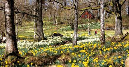 Solgult hav Den gula mattan breder ut sig vart man är går. I den här ofattbart vackra trädgården i västgötska Sjötofta finns cirka en miljon narcisser fördelat på100 olika sorter.