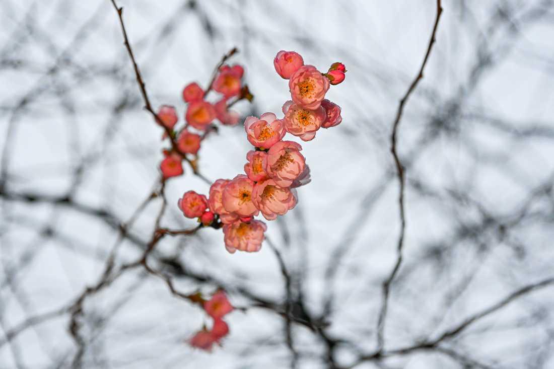 Körbärsträden blommar i Kungsträdgården.