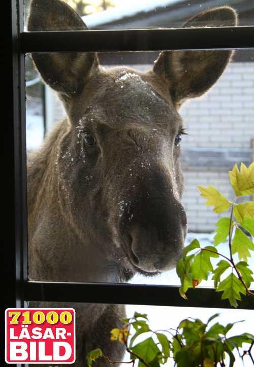 FÖNSTERTITTARE Älgkalven har gjort sig hemmastadd i bostadskvarteret på Älggatan i Rödeby. Frida Jacobsson trodde inte sina ögon när den plötsligt kikade in genom hennes fönster.