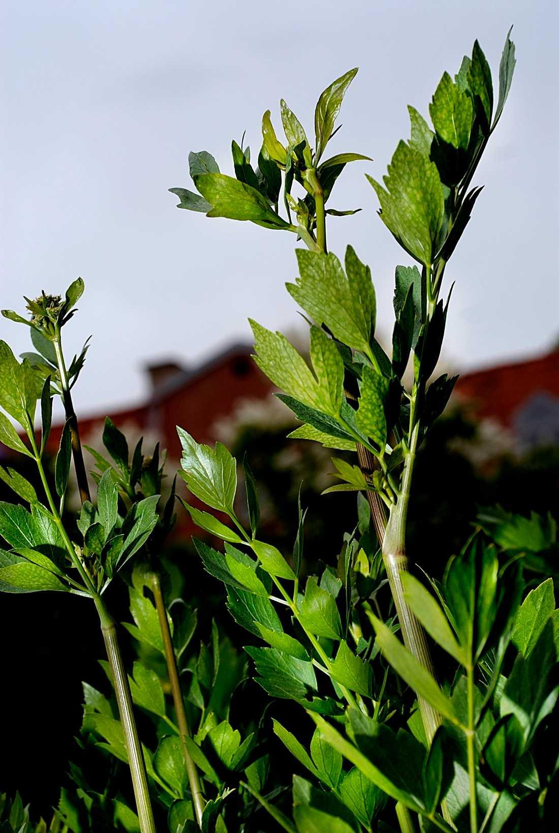 Libbsticka. Växt som kan användas i matlagning.
