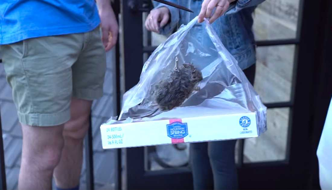 En död råtta som får elstötar.