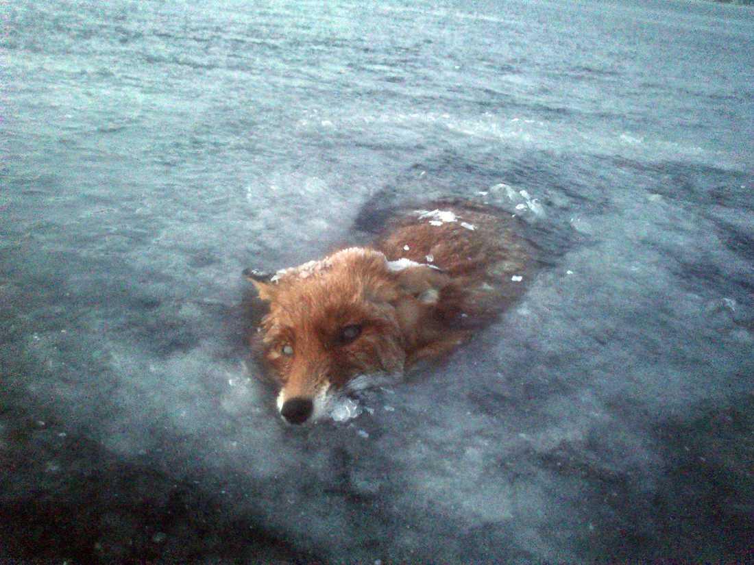 FASTFRUSEN Jeffer var ute och åkte skridskor på sjön Bunn utanför Gränna när han fick syn på räven.