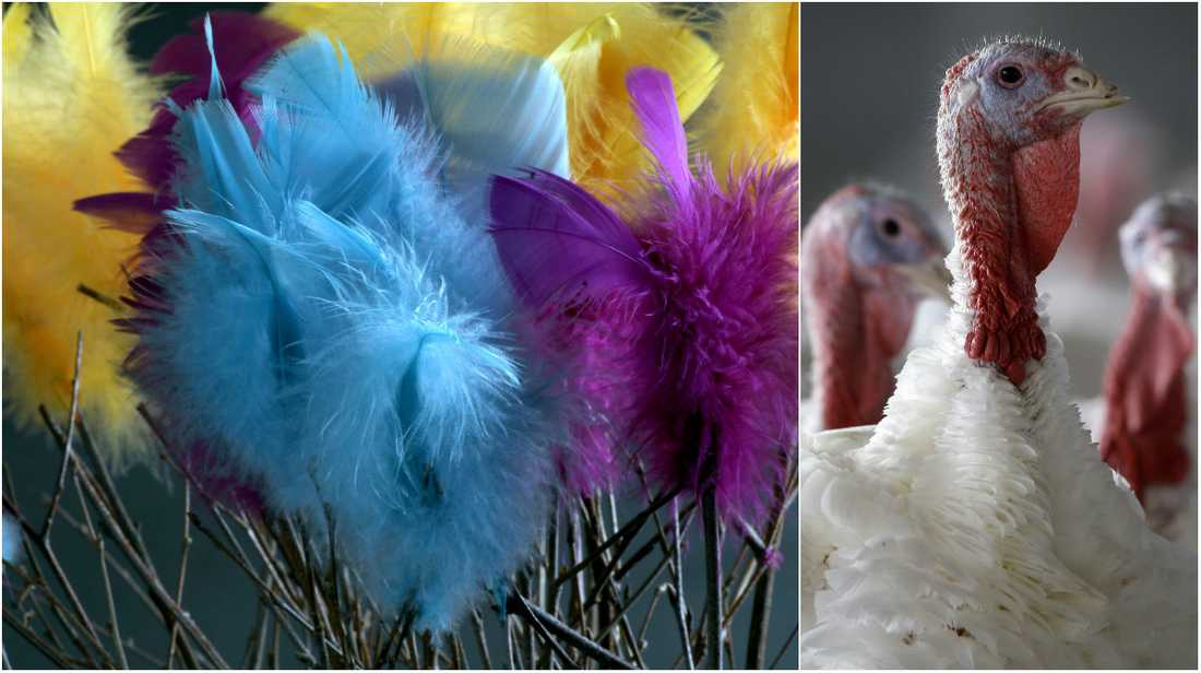 De färgglada fjädrarna som fortfarande pryder många andra gator och torg kommer ofta från kalkonindustrin i USA.
