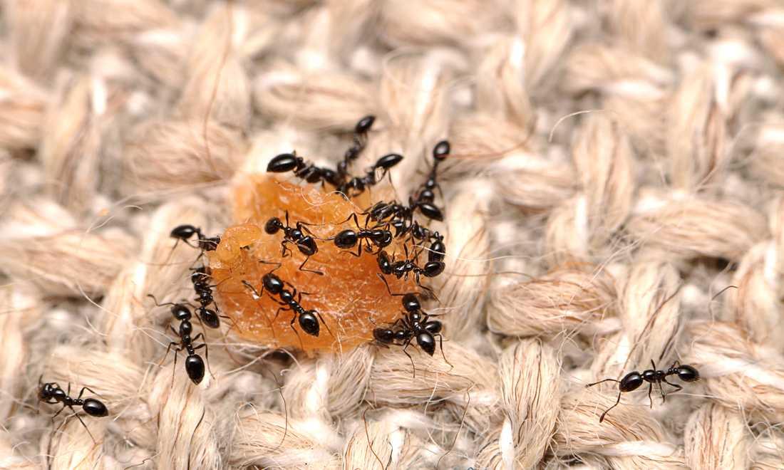 Myror som festar loss på en matsmula, inte helt ovanligt i våra hem. Arkivbild.