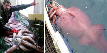 Den tio meter långa jättebläckfisken hittades av fiskare i februari förra året i haven utanför Antarktis.